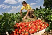 Сезонная работа в Польше. Сбор овощей, фруктов, ягод, Днепр - фото 0