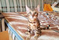 Бенгальская кошка. Бенгальские котята купить. Запорожье. - фото 0