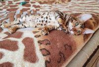 Бенгальская кошка. Бенгальские котята купить. Запорожье. - фото 1