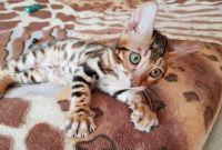 Бенгальская кошка купить Харьков. - фото 0