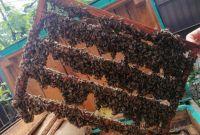 Пчеломатки карпатка. Бджоломатки карпатка - фото 0