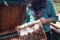 Пчеломатки карпатка. Бджоломатки карпатка - фото 1
