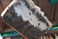 Пчеломатки карпатка. Бджоломатки карпатка - фото 3