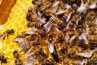 Пчеломатки карпатка. Бджоломатки карпатка - фото 6
