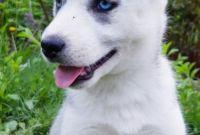 ЗАГОЛОВОК: Купить щенка СИБИРСКОЙ ХАСКИ || щенок ХАСКИ (девочка) в Харькове. - фото 0