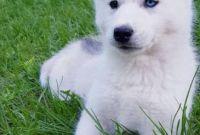 ЗАГОЛОВОК: Купить щенка СИБИРСКОЙ ХАСКИ || щенок ХАСКИ (девочка) в Харькове. - фото 2