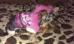 Продам зимние комбинезоны для мелких собачек - фото 3