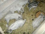 кабана породы венгерская пуховая мангалица - фото 2